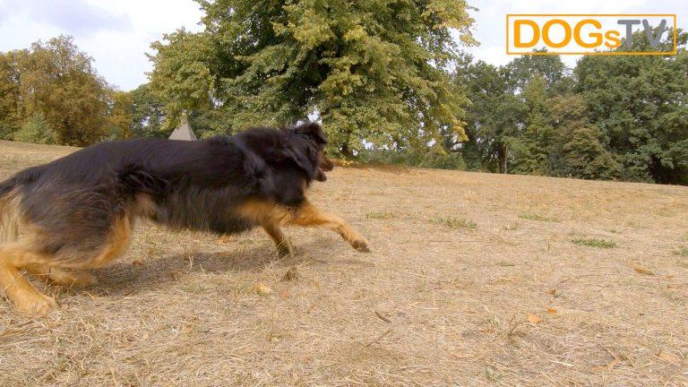 platz-auf-distanz-stopsignal-hund-rennt-los-dogstv
