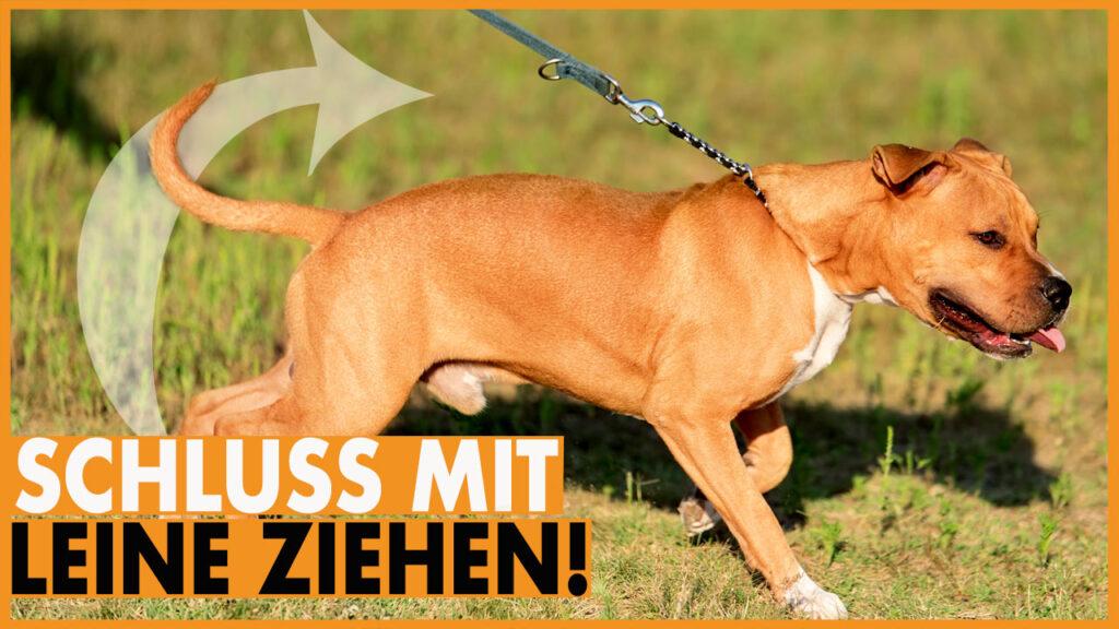 hund zieht an der leine dogstv