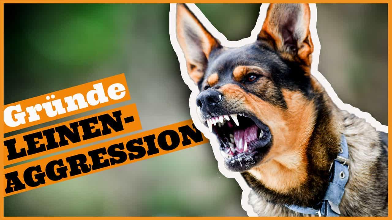 leinenaggression gruende ursachen hund bellt an der leine dogstv