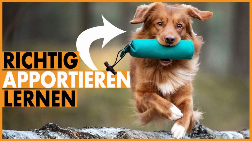 Hund apportieren beibringen dummytraining dogstv