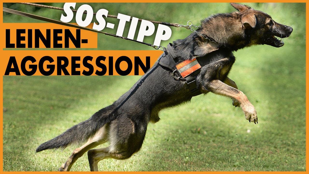 hund bellt andere hunde an leinenaggression tipp dogstv