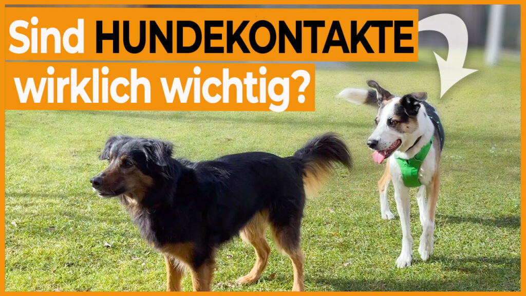 hundebegegnung hundekontakt dogstv